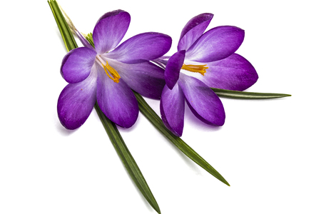 Purple flowers of crocus isolated on white background stock photo purple flowers of crocus isolated on white background stock photo picture and royalty free image image 54353651 mightylinksfo