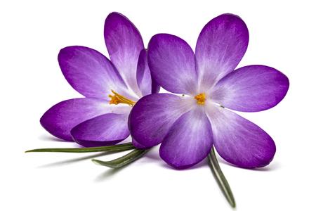 흰색 배경에 고립 된 크 로커 스의 보라색 꽃