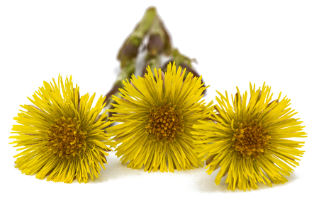 homoeopathic: Flowers of foalfoot (Tussilago farfara),  isolated on white background