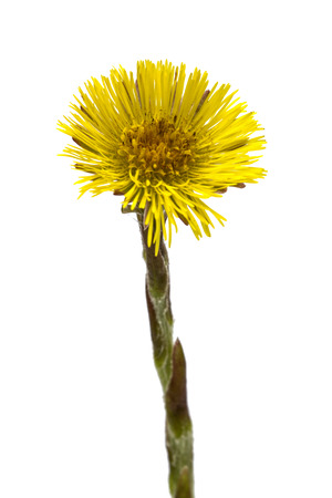 homoeopathic: Flower of foalfoot (Tussilago farfara),  isolated on white background Stock Photo