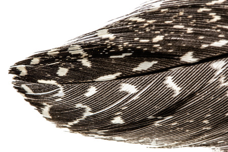 guinea fowl: Feather of guinea fowl close-up, isolated on white background