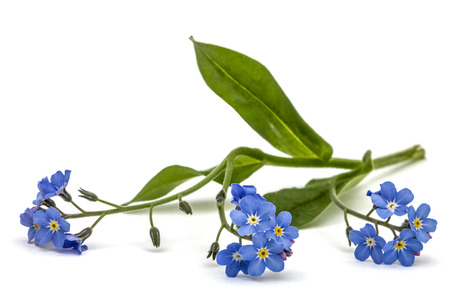 arvensis: Light blue flowers of Forget-me-not (Myosotis arvensis), isolated on white background