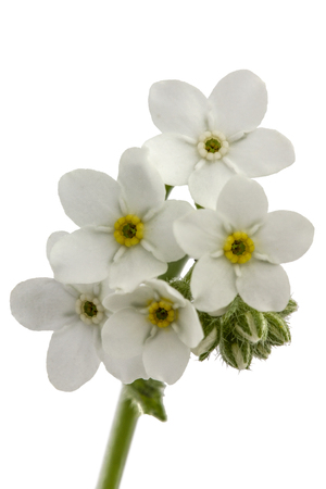arvensis: White flowers of Forget-me-not (Myosotis arvensis), isolated on white background
