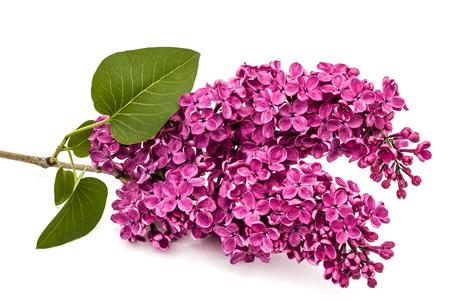 Twig purple lilac, Syringa vulgaris, isolated on white background Stock Photo
