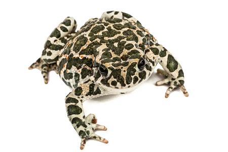Toad green, lat. Bufo viridis, isolated on white background Stock Photo