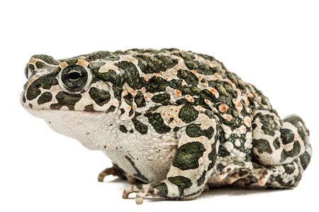 repulsive: Toad green, lat. Bufo viridis, isolated on white background Stock Photo