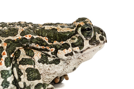 bufo toad: Toad green, lat. Bufo viridis, isolated on white background Stock Photo