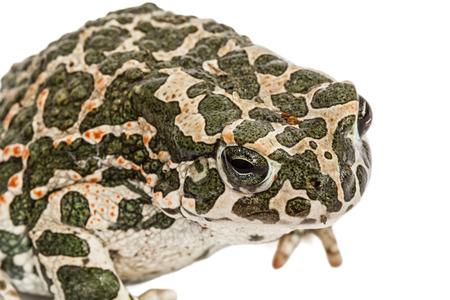 viridis: Toad green, lat. Bufo viridis, isolated on white background Stock Photo