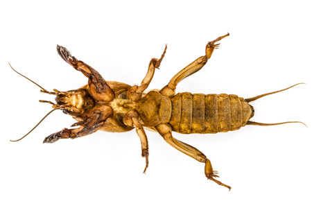 repulsive: Mole cricket (Gryllotalpidae) isolated on white background Stock Photo