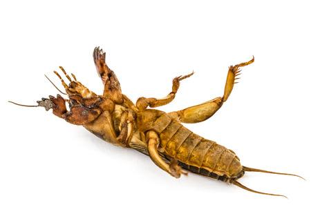 saboteur: Mole cricket (Gryllotalpidae) isolated on white background Stock Photo