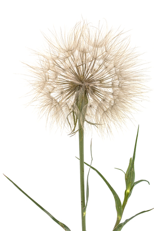 moonflower: Tragopogon pratensiss close-up, isolated on white background
