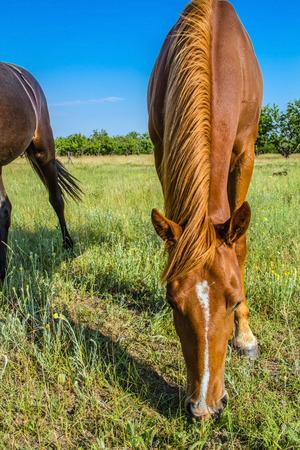 yegua: Yegua en pastos, paisaje de verano país