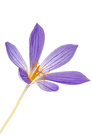 Violet flower of Colchicum close-up, isolated on white background Stock Photo