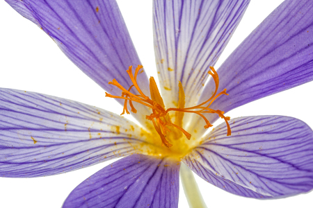 Pistil and stamens of the flower Colchicum macro, isolated on white background Stock Photo