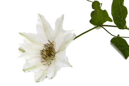 clematis: Clematis flower, isolated on white background