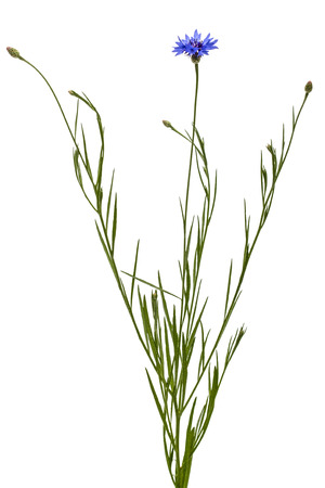 コーンフラワー、緯度で、白い背景で隔離の花