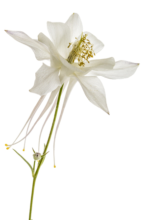catchment: Flower of catchment, lat. Aquilegia, isolated on white background
