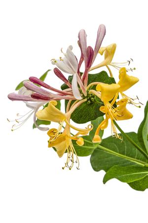 Flowers of honeysuckle, lat. Lonicera caprifolium, isolated on white background Stock Photo