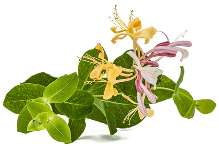 Flowers of honeysuckle, lat. Lonicera caprifolium, isolated on white background