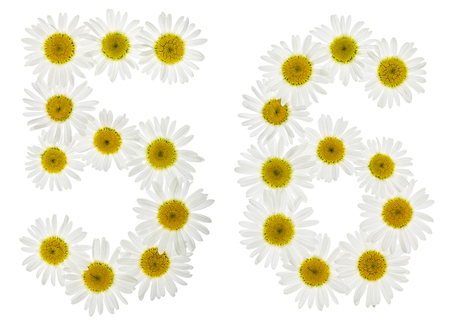 matricaria: Arabic numeral 56, fifty six, from white flowers of chamomile, isolated on white background