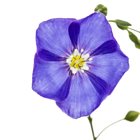 linseed: Blue flower of flax, isolated on white background