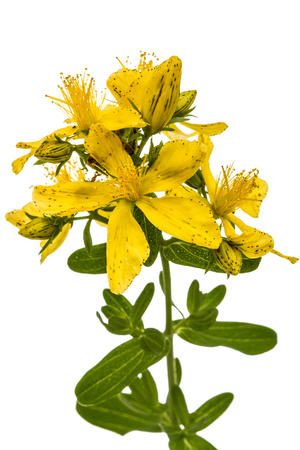 Flowers  of St. Johns wort (Hypericum perforatum), isolated on white background 版權商用圖片