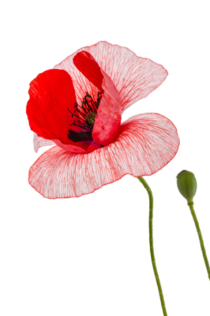The flower of a poppy with unusual coloring of petalsisolated on white background Stock Photo