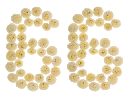 Arabic numeral 66, sixty six, from cream flowers of chrysanthemum, isolated on white background
