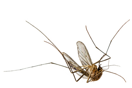 malaria: The dead mosquito,  isolated on white background