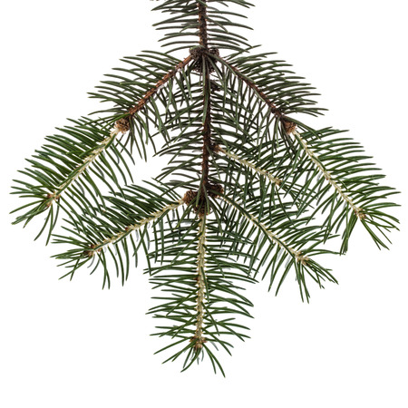 Spruce branch, isolated on white background Stock Photo