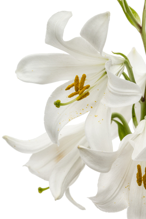 흰 백합, 흰 배경에 고립의 꽃