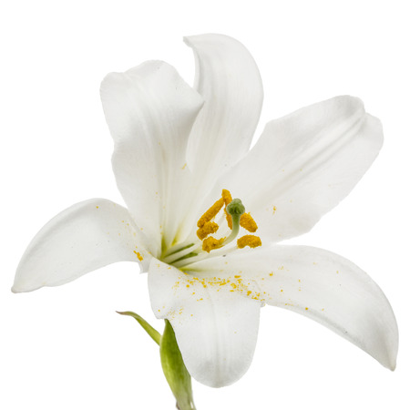 Flower of white lily, isolated on white background Foto de archivo