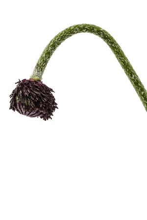 narcotic: Green poppy head, isolated on white background Stock Photo