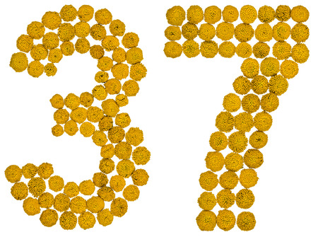 Arabic numeral 37, thirty seven, from yellow flowers of tansy, isolated on white background The tansy - a plant of the daisy family with yellow flat-topped buttonlike flower heads and aromatic leaves, formerly used in cooking and medicine.