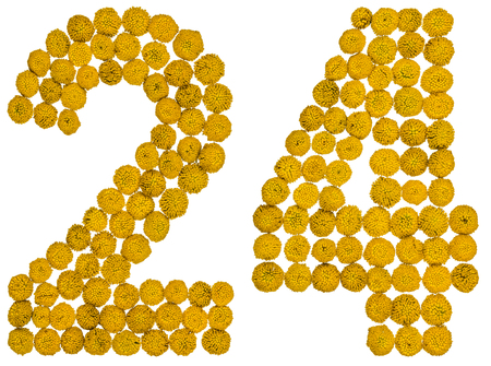 Arabic numeral 24, twenty four, from yellow flowers of tansy, isolated on white background The tansy - a plant of the daisy family with yellow flat-topped buttonlike flower heads and aromatic leaves, formerly used in cooking and medicine. Stock Photo