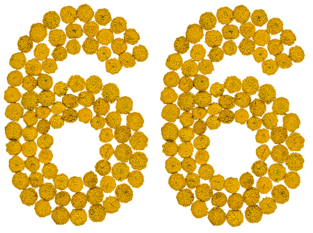 Arabic numeral 66, sixty six, from yellow flowers of tansy, isolated on white background The tansy - a plant of the daisy family with yellow flat-topped buttonlike flower heads and aromatic leaves, formerly used in cooking and medicine. Stock Photo
