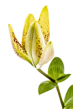 patchy: Bud of brindle lily flower, isolated on white background