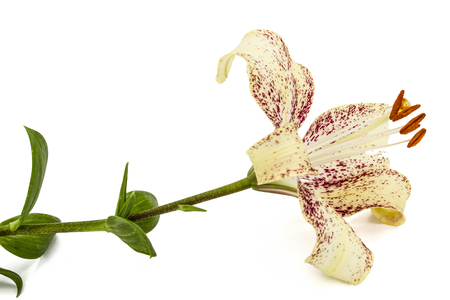 patchy: Big flower of brindle lily, isolated on white background