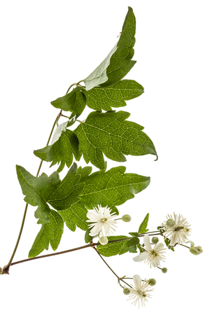 clematis: Flowers and leafs of Clematis , lat. Clematis vitalba L., isolated on white background Stock Photo