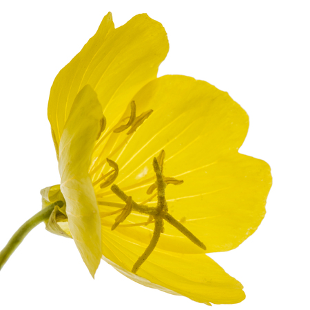 Yellow flower of Evening Primrose, lat. Oenothera, isolated on white background