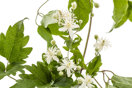 Flowers and leafs of Clematis , lat. Clematis vitalba L., isolated on white background Standard-Bild