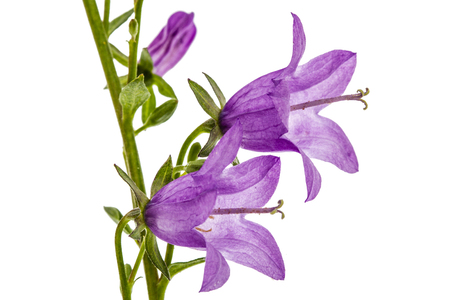 Violet flower of Campanula, isolated on white background Stock Photo