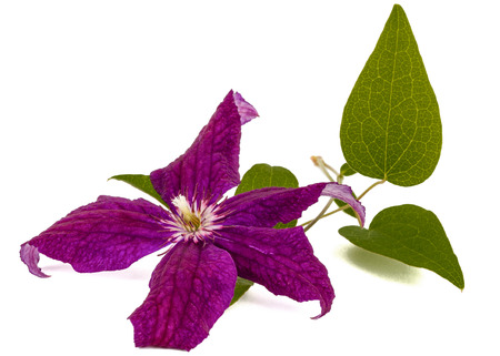 clematis: Purple clematis flower, isolated on white background Stock Photo