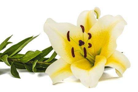 Flower of yellow oriental lily, isolated on white background Zdjęcie Seryjne