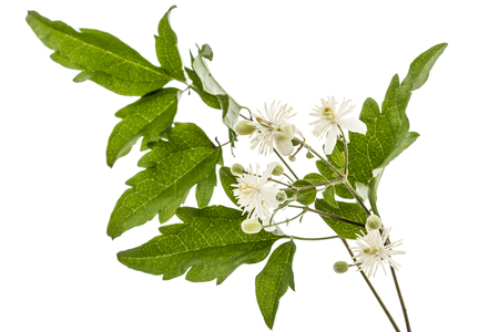 Flowers and leafs of Clematis , lat. Clematis vitalba L., isolated on white background Stock Photo