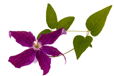 Purple clematis flower, isolated on white background Stock Photo