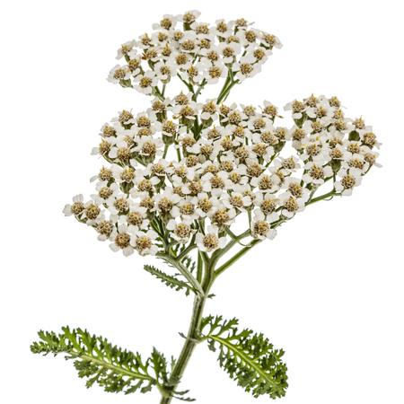 officinal: Flowers of yarrow, lat. Achillea millefolium, isolated on white background