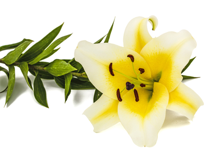Flower of yellow oriental lily, isolated on white background Stock Photo