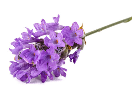Flowers  of violet lavender, isolated on white background Stock Photo