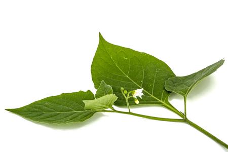 Flowers and leaves of black nightshade, lat. Solanum nígrum, poisonous plant, isolated on white background Stock Photo